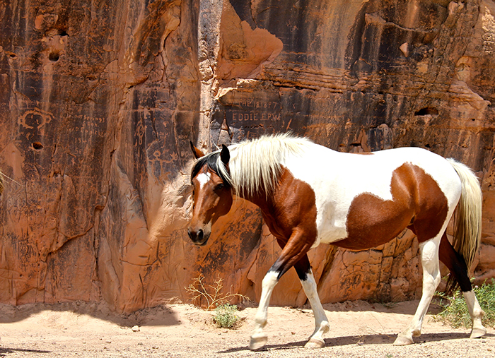On a hot summer day, a paint mustang stands in the cool shade of the petroglyphs located on sandstone rimrock bluffs near the river.