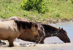 Summer months in the West are very hot and dry. Each day, wild horse bands gather together to cool off and drink from the river.