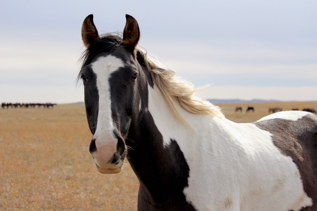 Black and white paint horse on the range out West
